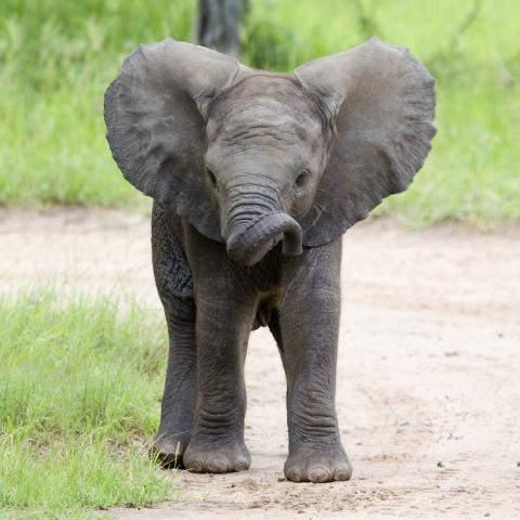 african-elephant-calf