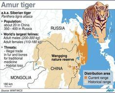 9847899c47a653188efb543b199cf6ca--report-siberian-tiger