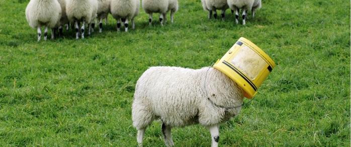 Sheep Gets A Bucket Stuck On Its Head